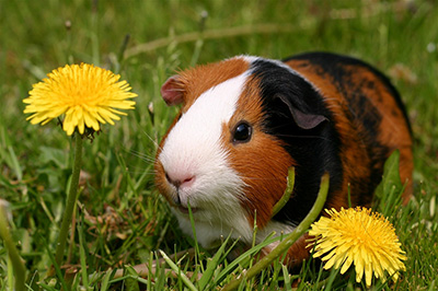 salmonella outbreak linked to pet guinea pigs