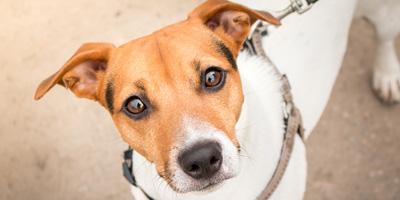 Fda Approves New Drug For Diabetic Dogs Veterinary Practice News