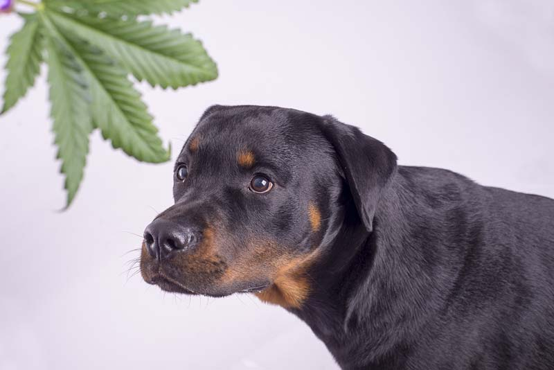 The American Society for the Prevention of Cruelty to Animals' (ASPCA's) Animal Poison Control Center reports a 765 percent increase in calls about cannabis ingestion by animals so far in 2019 over the same period last year.
