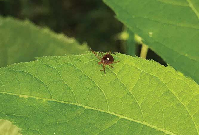 A lone star tick questing on a leaf in search of a host.