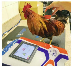A rooster with back pain gets laser therapy.