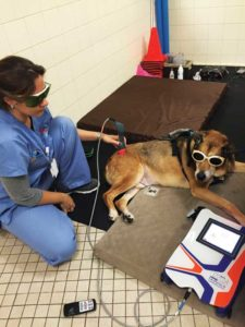 Deana J. Cappucci-Lorentz, BS, LVT, CCRA, CCMT, VTS (physical rehabilitation), administers laser therapy to her dog, Jake, who suffered from osteoarthritis as a geriatric pet.