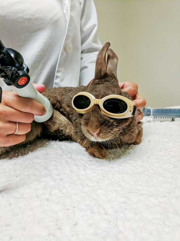 A rabbit receives laser therapy after injuring its paw,  which resulted in lameness.