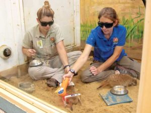 A slender-tailed meerkat receives voluntary laser therapy for arthritis from zookeeper Kirsten Kjorsvig (left) and Janelle Brandt, RVT, at the Great Plains Zoo in Sioux Falls, S.D.