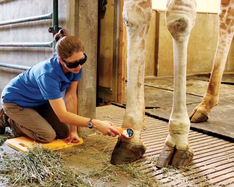 A reticulated giraffe gets laser therapy for arthritis.