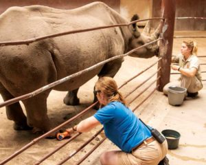 This eastern black rhinoceros gets laser therapy to heal a wound.