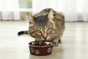 A recent study found an increased risk of diabetes with dry food consumption in lean cats.