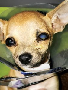 A 13-week-old Chihuahua presented with bite wound trauma from a larger dog.
