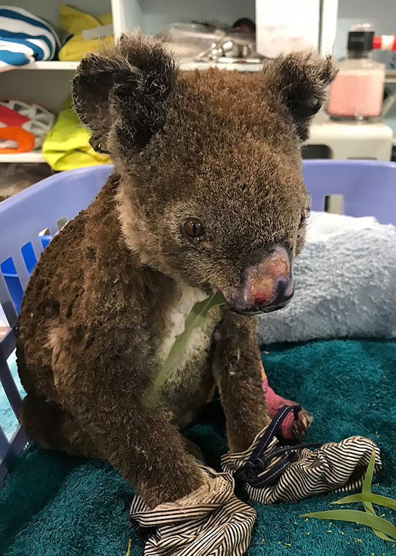 Experts estimate nearly one-third of all koalas in New South Wales have perished in the fires, but hundreds are being rescued and rehabilitated at animal hospitals.