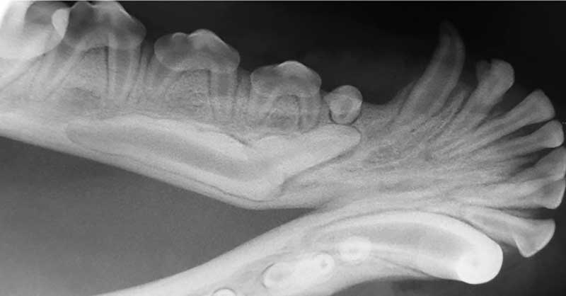 Figure 1: An unerupted mandibular canine tooth (tooth #404) in a young dog. This is a good indication for use of a piezosurgery unit.