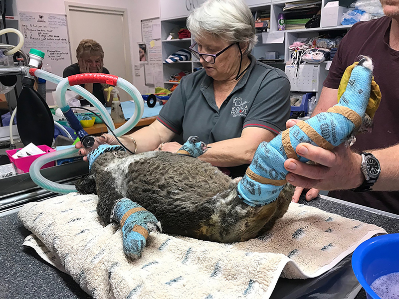 Veterinarians at the Port Macquarie Koala Hospital are working around the clock to save koalas burned in the bushfires.