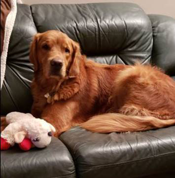 Paddington Bear, a six-year-old golden retriever, underwent tibial-plateau-leveling osteotomy (TPLO) in British Columbia.