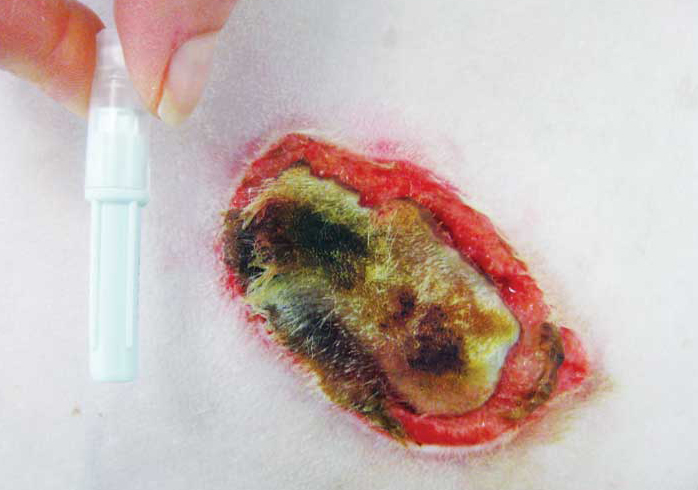 Burn wound from a faulty cautery plate in a 10-year-old golden retriever.