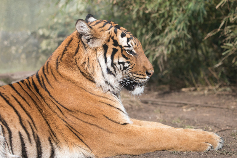 Coronavirus: Bronx Zoo tiger tests positive for COVID-19