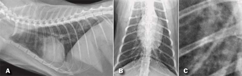 These thoracic radiographs show heartworm infection and broncho-interstitial lung pattern in a cat. A) Lateral view; B) Dorsoventral view; C) A closer view of an enlarged right caudal lobar pulmonary artery.