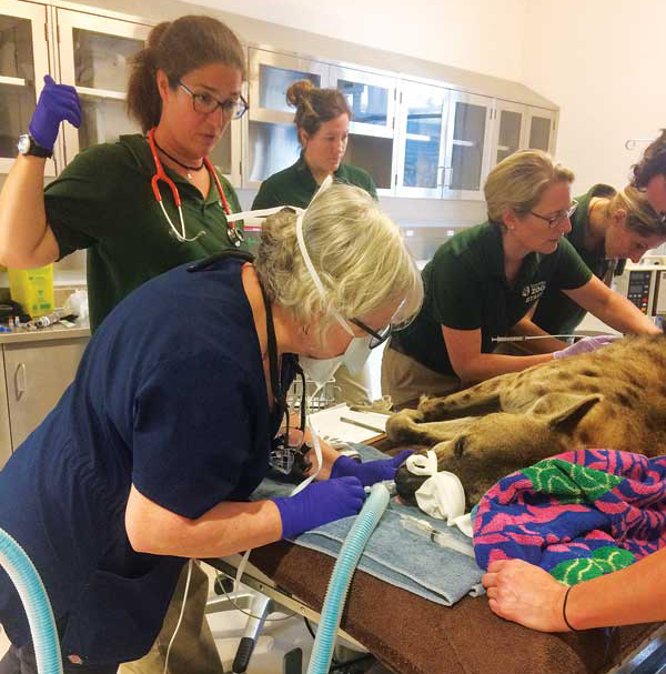 Veterinary public practice incorporates careers in various fields, including zoo and wildlife medicine. Photo by Samantha Ashenhurst
