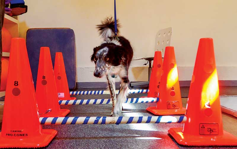 As part of his rehabilitation therapy, this dog is gait training using cavaletti poles. Photo courtesy Jessica Waldman