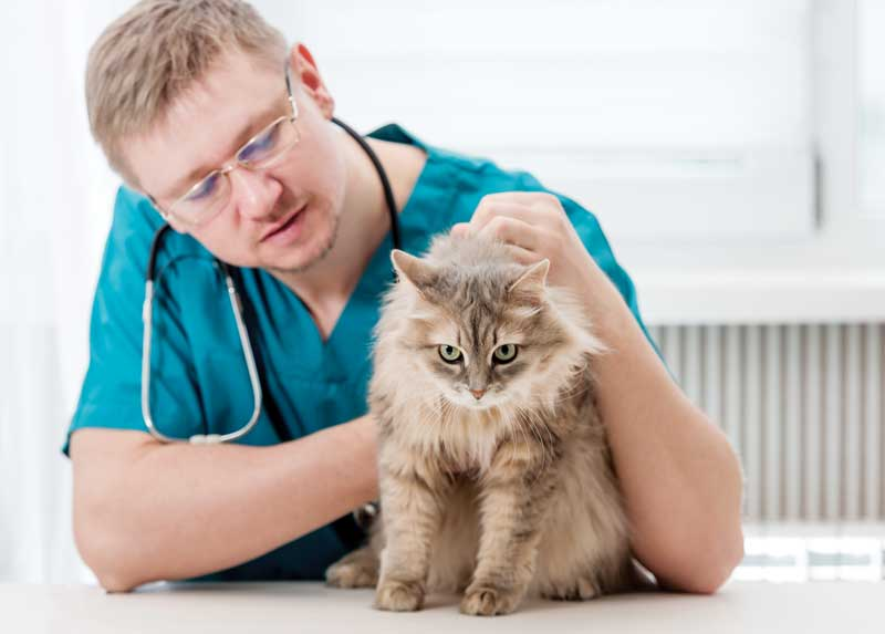 It's been reported that 4.6 percent of cats evaluated in private practices in the U.S. and seven to eight percent of cats seen at veterinary teaching hospitals present for lower urinary tract disorders. Photo 158965761 © Motortion - Dreamstime