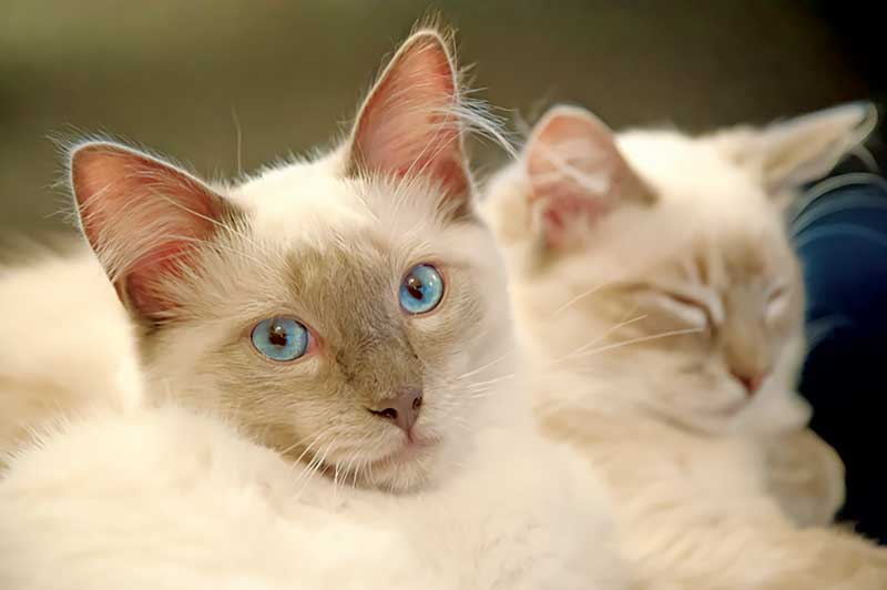 Stress can be a factor in multi-cat households, contributing to idiopathic FLUTD.