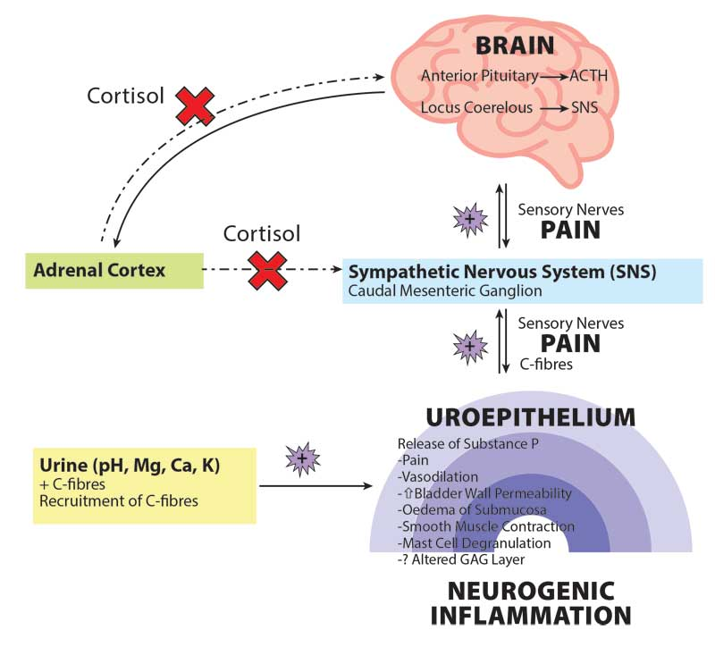 Current hypothesis for neurogenic inflammation in FIC. (Adapted from: Buffington, Chew and DiBartola [1996]). Image courtesy Kerry Rolph