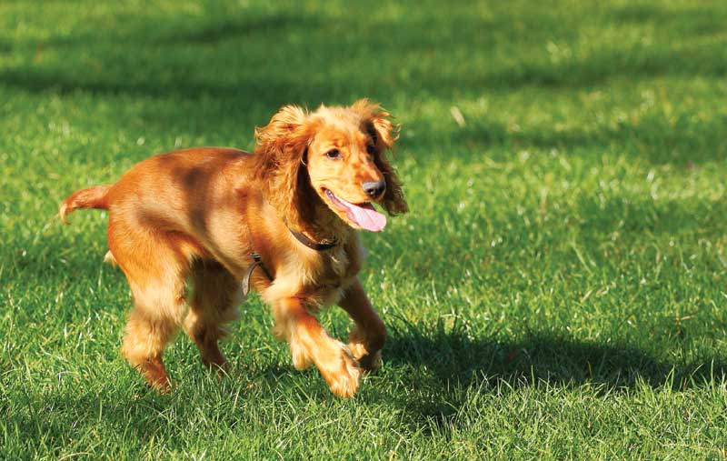 Dogs usually show no signs of illness until adult worms are present in the heart. Treatment includes complete exercise restriction, melarsomine, macrocyclic lactones, doxycycline, and steroids.