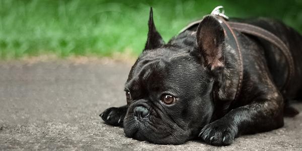 Genetic understanding improves canine health - Veterinary Practice News