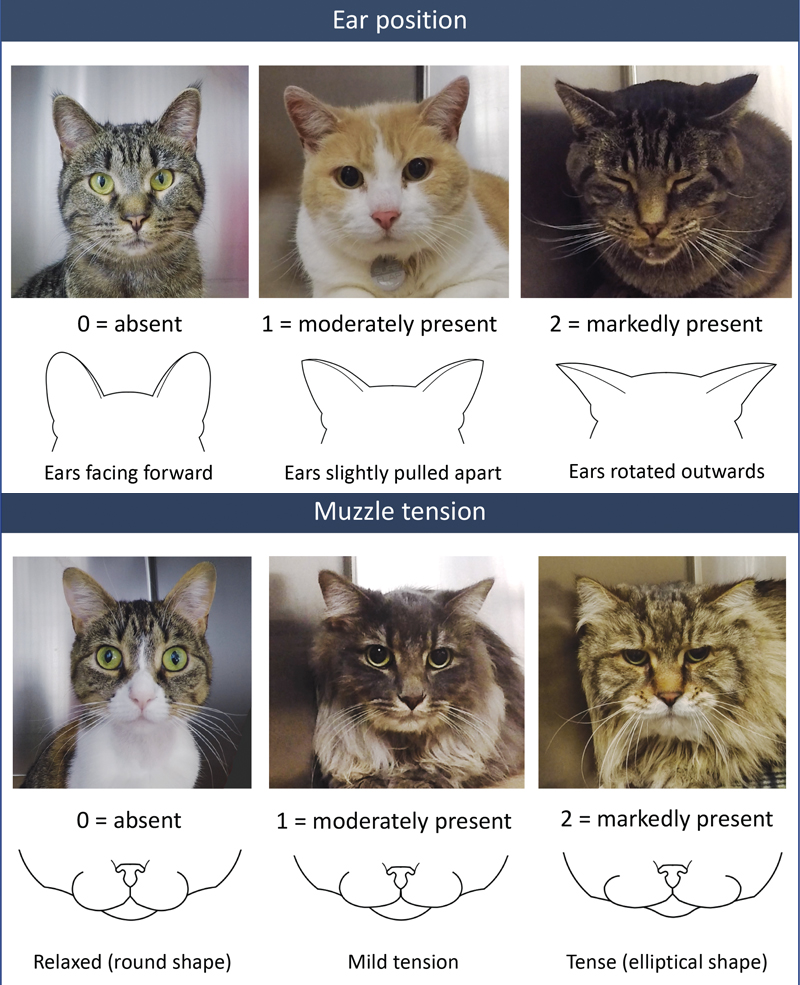 Developed by Paulo V. Steagall, DVM, MS, PhD, DACVAA, the Feline Grimace Scale assesses pain using a point system based on ear position, muzzle tension, orbital tightening, whisker position, and head position.