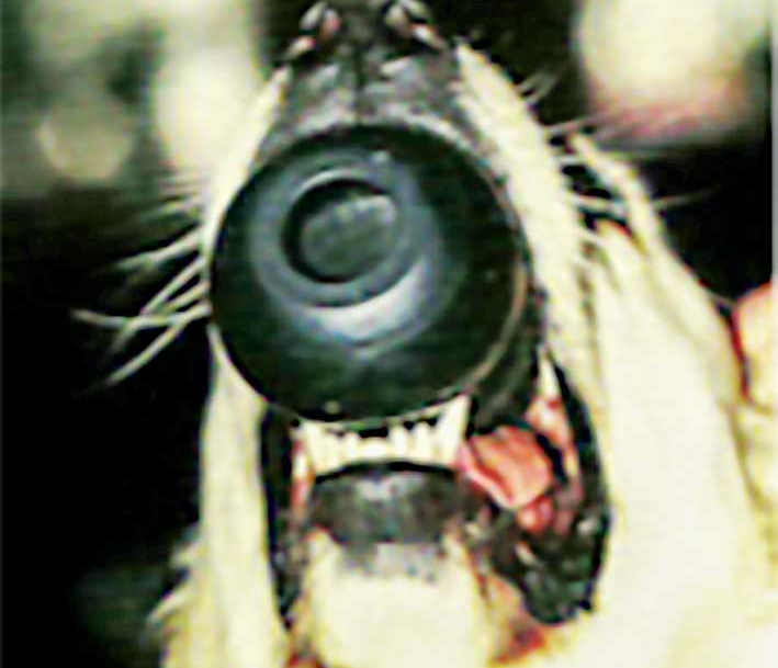 """Figure 2: An example of an appropriately sized """"appliance"""" for treatment of linguoversion of mandibular canine teeth. Photo @Journal of Veterinary Dentistry, 1999"""