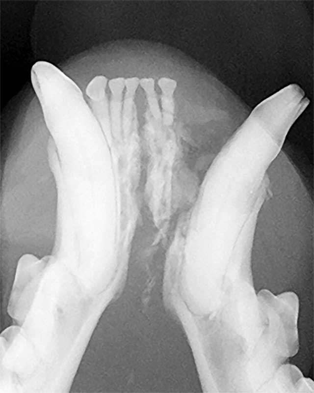 Figure 2: Iatrogenic rostral mandibular fracture in a cat between the symphysis and the alveolus of the left mandibular canine tooth.