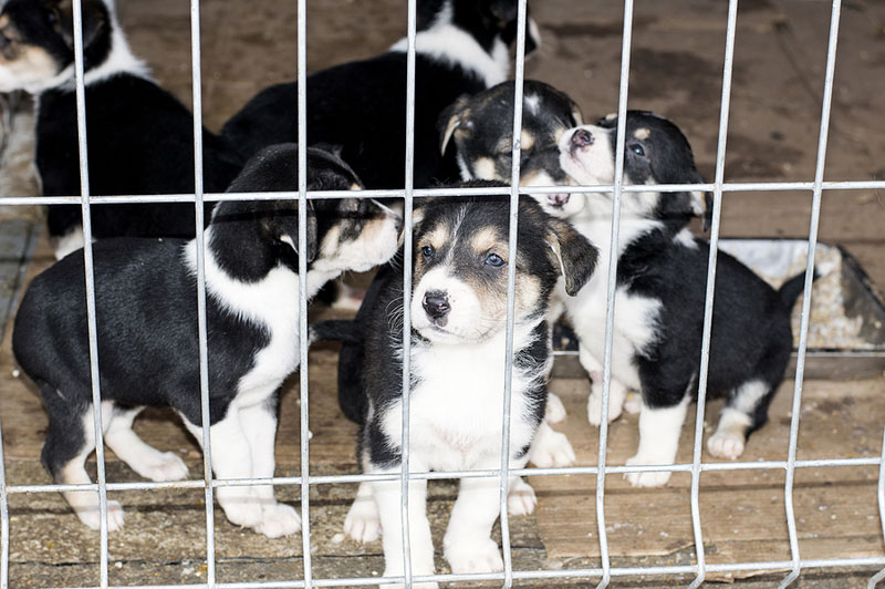Protecting the health and welfare of puppies living in and entering the Great White North is the driving force behind a recent announcement from the Canadian Food Inspection Agency (CFIA). Photo ©BigStockPhoto.com