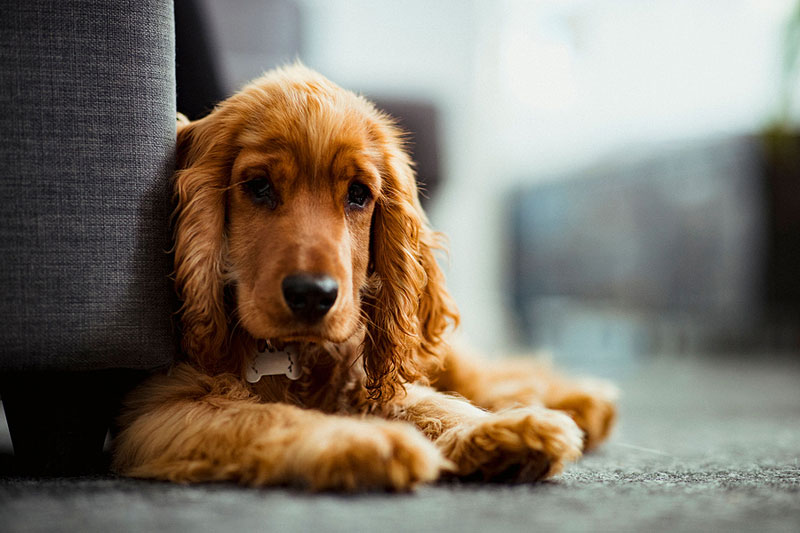 A Merck survey reveals 73 percent of those who adopted a dog amidst the pandemic are considering rehoming it