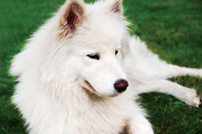 Some breeds, such as Samoyed, are at an increased risk of diabetes mellitus.
