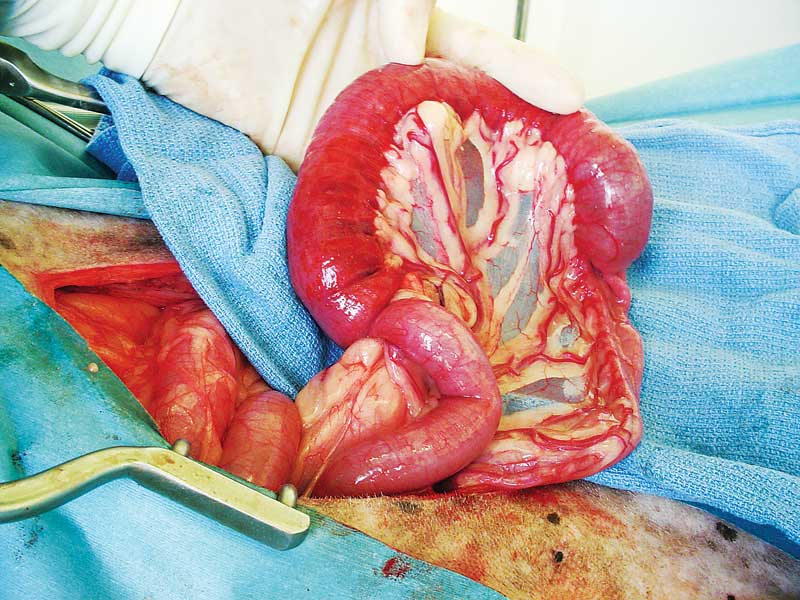 Intussusception in an 11-year-old greyhound. (The diagnosis is mast cell tumor of the jejunum.) Photo courtesy Phil Zeltzman