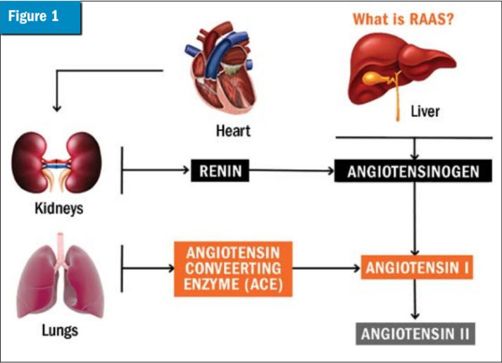Activation of RAAS in the MMVD patient leads to chronic vasoconstriction, retention of sodium and water, and cardiac remodeling. Even with the use of angiotensin-converting enzyme inhibitors, aldosterone is present both as a function of stimulation from sources other than angiotensin II (e.g. chymase and endothelin) and in some patients, aldosterone breakthrough. Images courtesy Susanne Heartsill