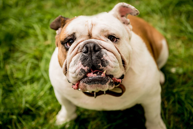 English bulldogs thought to have cancer may, in fact, have a non-cancerous syndrome called polyclonal B‐cell lymphocytosis, according to Morris Animal Foundation-funded research out of Colorado State University. Photo ©BigStockPhoto.com
