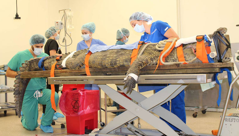 A 341-lb Nile crocodile is breathing comfortably after having a shoe removed from her stomach at the University of Florida (UF). Photo by Sarah Carey/courtesy UF