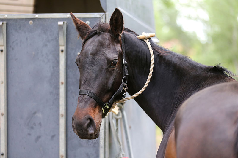 The reintroduced Horse Transportation Safety Act (HTSA) would bar the use of double-deck trailers to haul horses in interstate commerce. Photo ©BigStockPhoto.com