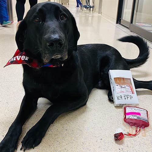Donor dog Oliver at Kansas State University (K-State) Veterinary Health Center (VHC). Photo courtesy Piper Brandt/K-State Today