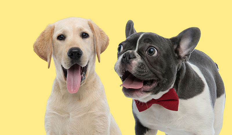 The American Kennel Club (AKC) has released its annual breed popularity rankings. Labrador retrievers topped the list, for the 30th year in the row, while French bulldogs were the runner-up. Photo ©BigStockPhoto.com