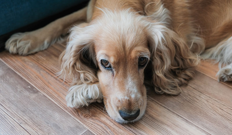 A recent Banfield Pet Hospital survey showed owners are concerned about leaving their pets at home when returning to the workplace with 38 percent worried their pet will experience separation anxiety when left alone. Photo ©BigStockPhoto.com