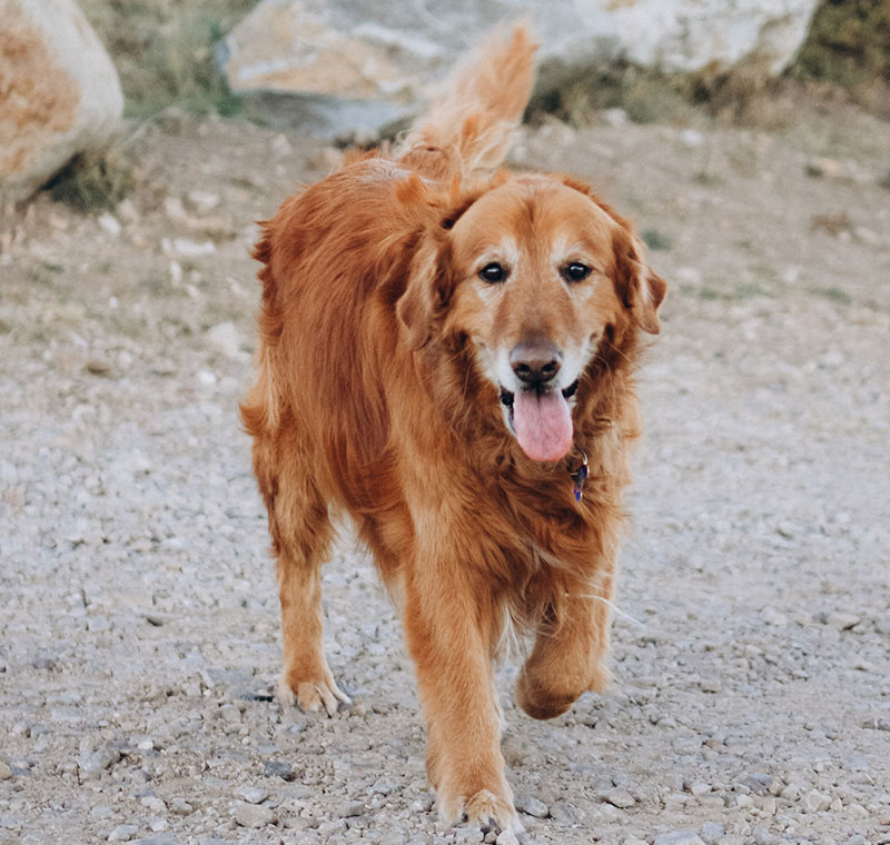Morris Animal Foundation's Golden Retriever Lifetime Study questionnaires for owners and veterinarians will now feature an OA-focused section, sponsored by Elanco Animal Health. Photo courtesy Morris Animal Foundation