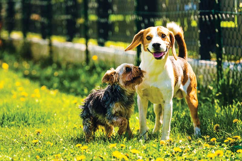 Once thought of as a rural disease, leptospirosis is on the rise and is now common in suburban and urban areas, particularly in small terrier dogs. Photo ©BigStockPhoto.com
