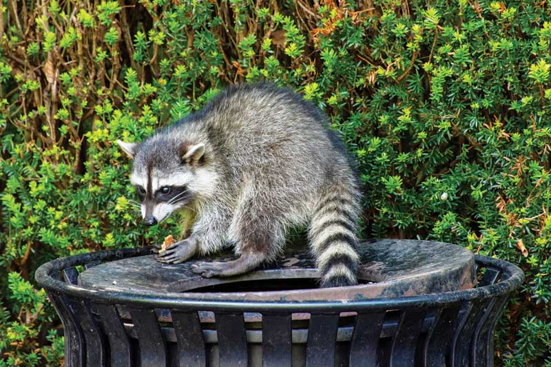 In the U.S., greater incidence of leptospirosis is probably associated with humans and pets increasingly sharing their environments with carrier animals such as raccoons, rodents, skunks, deer, opossums, mice, and rats.