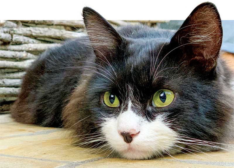 Feline osteoarthritis is a degenerative joint disease common in middle age to older feline patients and can have significant impacts on a cat's quality of life
