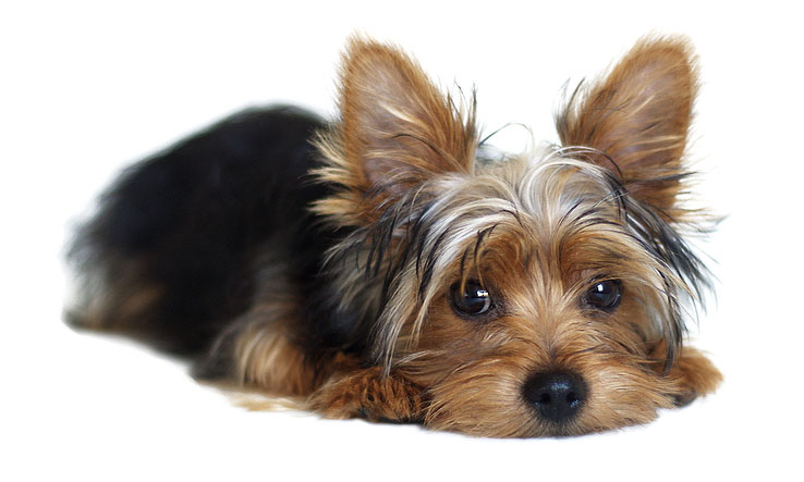 A Montréal veterinarian has been issued a three-week suspension and a $5500 fine after removing 19 teeth from a Yorkshire terrier without the consent of its owner.Photo ©BigStockPhoto.com