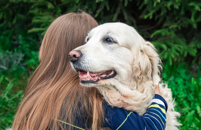 Questionnaires for Morris Animal Foundation's Golden Retriever Lifetime Study will now include a section focused on canine cognitive dysfunction syndrome (CDS), thanks to a $225,000 contribution from the Purina Institute. Photo courtesy Morris Animal Foundation