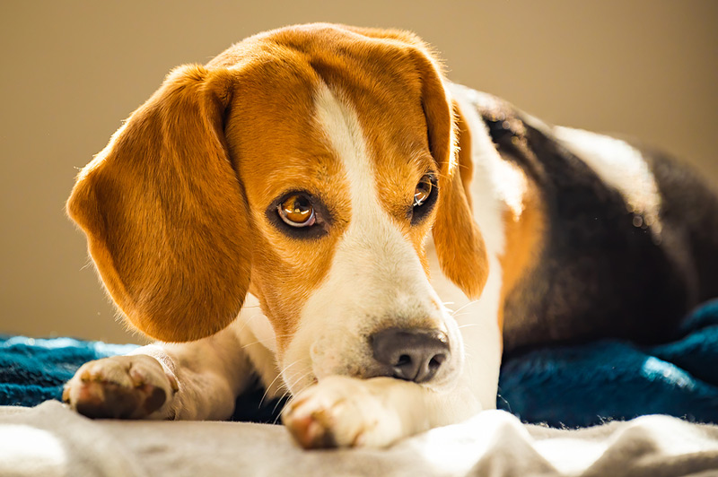 A dog's relationship with its owner can impact its long-term stress level. Photo ©BigStockPhoto.com