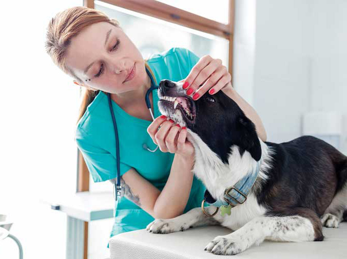 Historically, pets may not have gotten dental care and the veterinarians didn't talk about it, but we now know how important oral health is to the patient's wellbeing and longevity. Photo ©BigStockPhoto.com