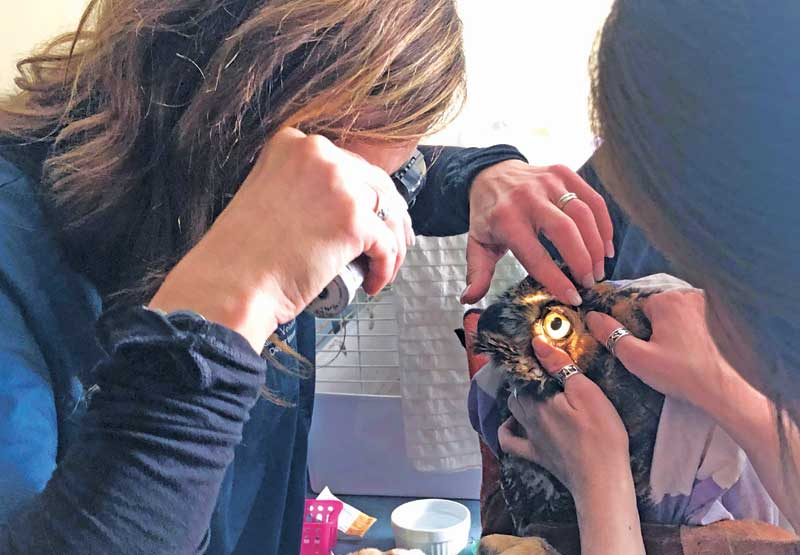 Dr. Reid examines a great horned owl at the Toronto Wildlife Centre. Photo courtesy TWC