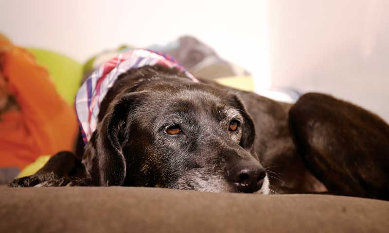 Pet owners need support when their beloved animals near the end of life. Treating a pet's end of life should be as important and thought out as when they first visit the clinic as a young animal. PHOTO COURTESY HEATHER BROCCARD-BELL/ISTOCK / GETTY IMAGES PLUS